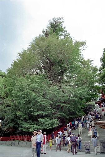 1997/07/01 (火) - 0:00 - 鶴岡八幡宮の大銀杏