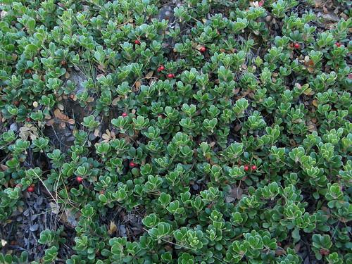 Arctostaphylos uva-ursi (Gayuba)   by copepodo