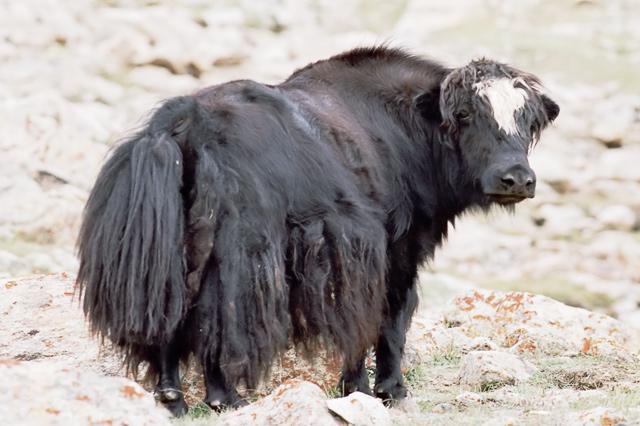 Yak Yak Yak... Ladakh!