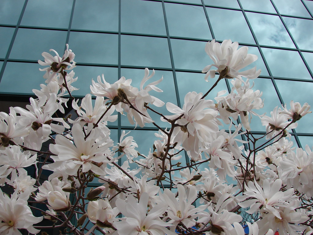 Steel Magnolias Magnolia Trees Outside Of City Hall In Dow Flickr