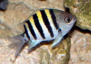Sargent major | by keywest aquarium