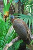Great Argus Pheasant- Argusianus argus by HGHjim
