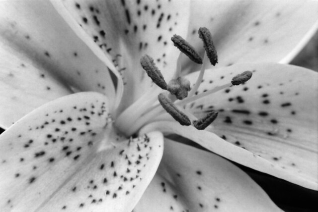 Asian Lily - 02