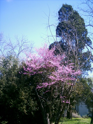 flora 50views easttexas redbudtree cedartree marshalltexas
