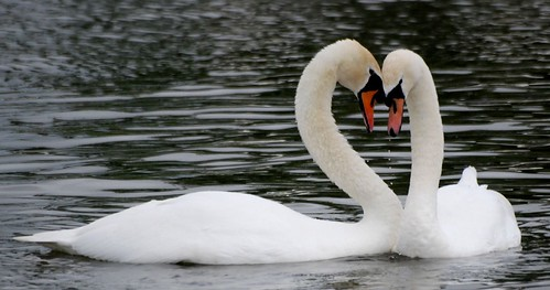 courting swans, slimbridge
