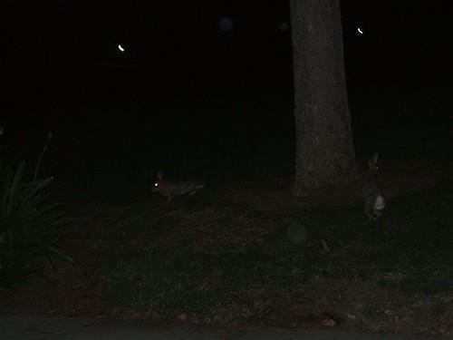 Rabbits hopping