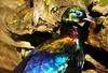 Him'n Monal Pheasant. by Ian Mc1