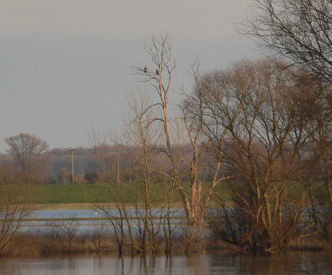 Seeadler auf Lieblingsbaum