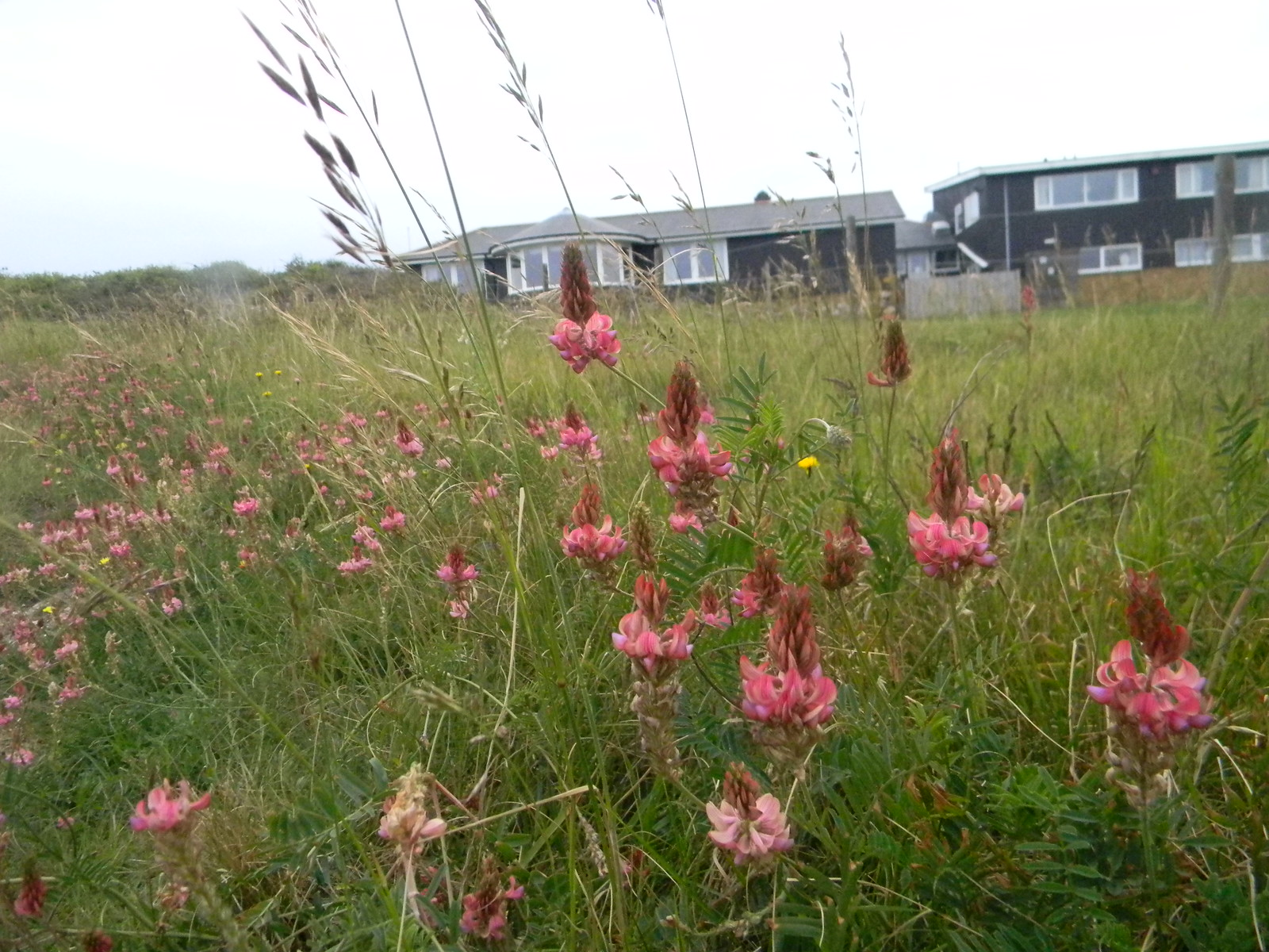 Sainfoin Deal to Dover