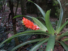 Guzmania berteroniana | by scott.zona