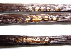 Madagascar vanilla bean tattoo | by nlian