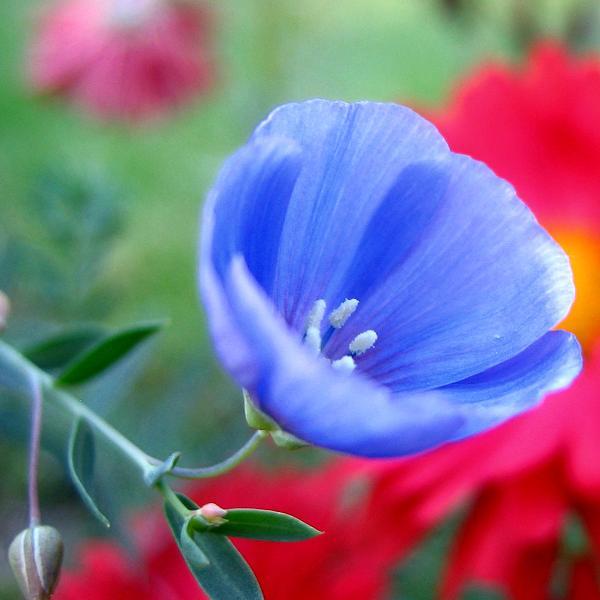 Last Flax Blossom of the Season