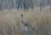 Slender-billed Vulture by Collaertsbrothers