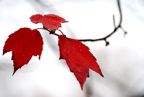 autumn usa color tree fall nature leaves forest season landscape nikon nikkor dukeuniversity tistheseason d80 mappleleaves theperfectphotographer chanwai