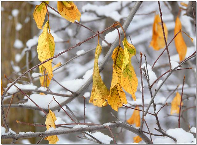 ~Golden Leaves against Fresh-fallen Snow~