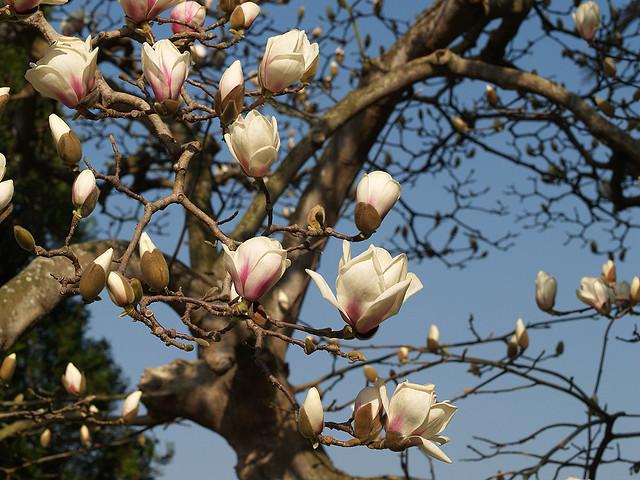 Magnolia x soulangeana Brozzonii - parece..