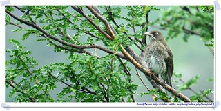 20041023_Guana@BVI_Pearly-eyed Thrasher_006_A | by rosstsai