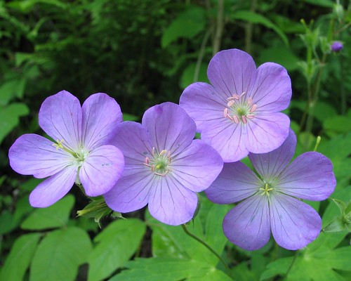 blue geotagged native tennessee geranium wildflower geraniaceae geraniummaculatum campbellco geo:lat=36399334 geo:lon=84276724