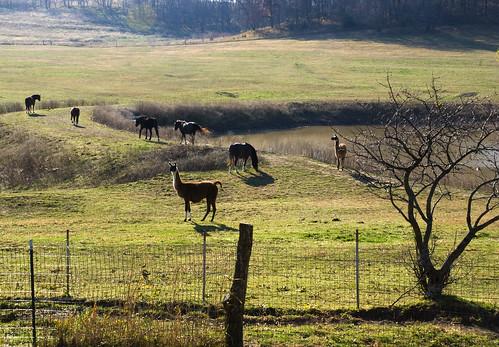 horse llama