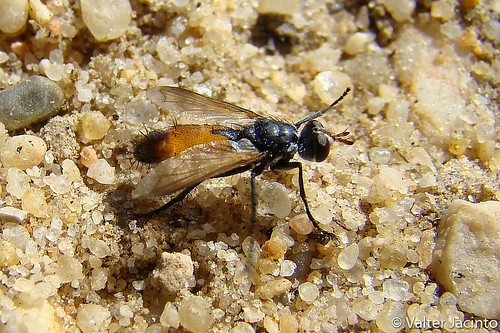 Mosca // Tachinid Fly (Cylindromyia rufifrons) | by Valter Jacinto | Portugal