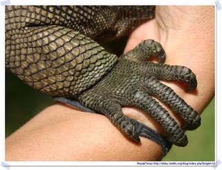 20041016_Guana@BVI_Iguana_007_A | by rosstsai