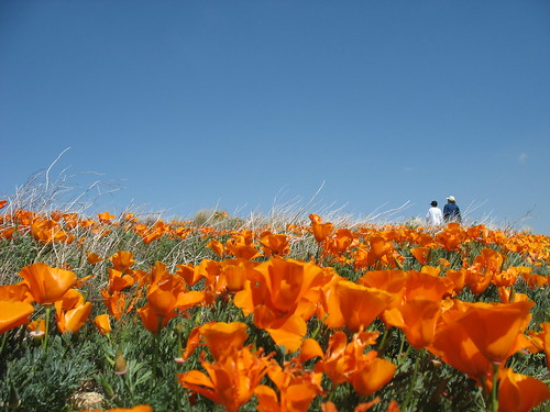 California Poppies | by Rennett Stowe