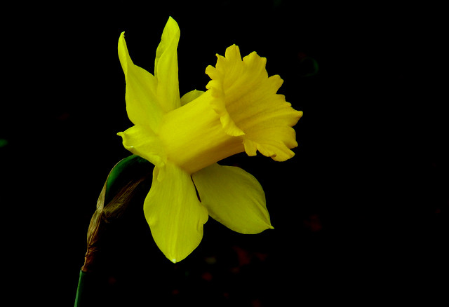 Yellow Flower with Black background   DIKESH.com   Flickr