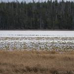 Waterfowl on Riddle Lake