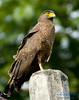 Philippine Serpent-Eagle (Spilornis holospilus) by neon2rosell