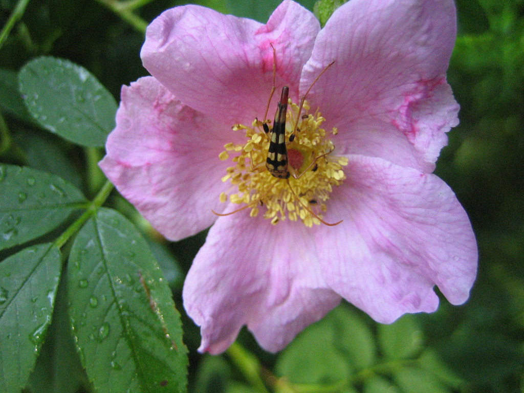 Insect in the center of a rose.