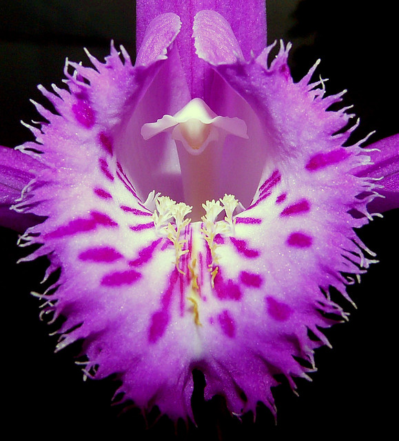 Pleione aff. X barbarae natural hybrid orchid 4-08 (explore:  high was 497 on 4-27-08)
