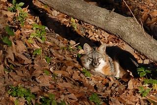 Grey Fox (Urocyon cinereoargenteus) | by guppiecat