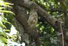 Mauritius Kestrel by pinebird