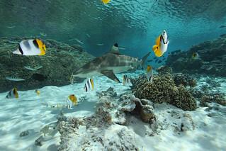 Blacktip Reef Shark | by sharkdefenders