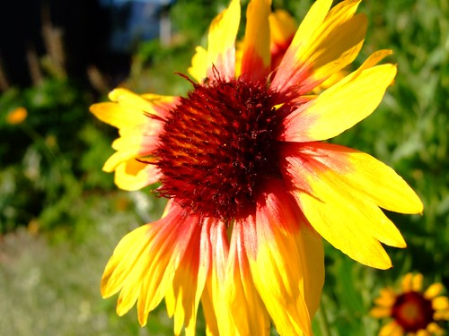 travel sunset red summer vacation holiday plant flower macro green yellow petals colorado dof depthoffield telluride blanketflower gaillardiaaristata