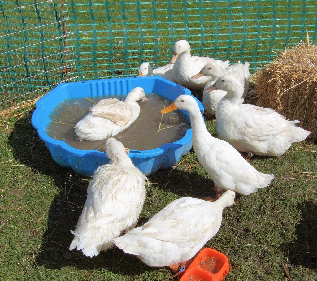 Aylesbury Ducks, Kew Gardens.