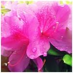 雨滴 - 躑躅色(つつじいろ) #instagram #iphoneography