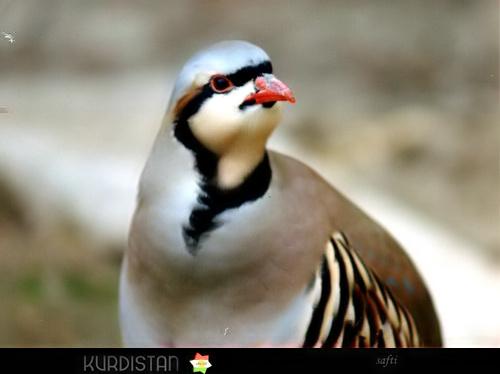 kurdistan love