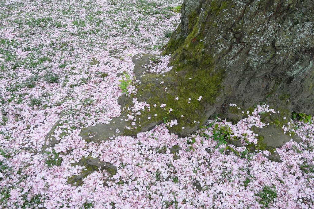 Pink Snow | Cherry blossom petals | jennafreeman | Flickr