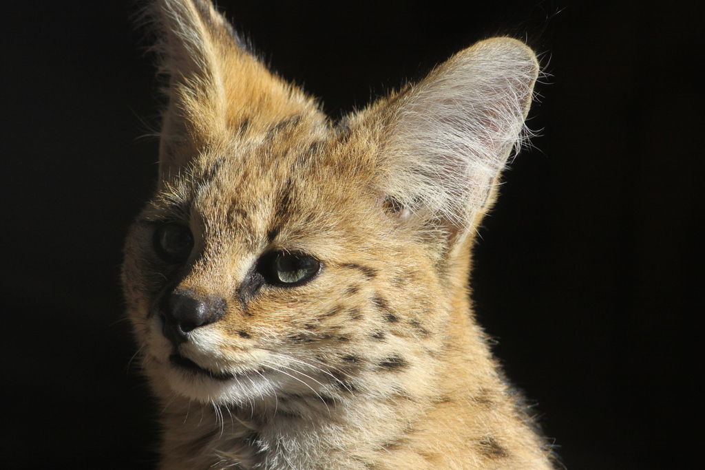 Serval - Leptailurus serval