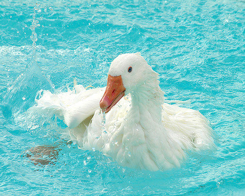 pool geese sebastopol naturesfinest featheryfriday aswpix sebastopolgeese sebastopolgoose
