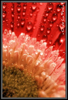 Flower macro - Gerbera