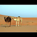 The camels and the herder. by StephenJR