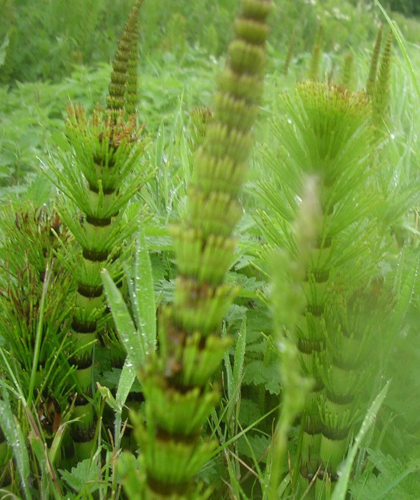 Horsetails Wakes Colne to Bures Plenty of these on the walk. Some were even attached to horses.