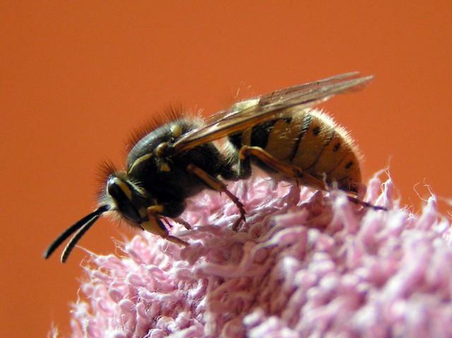 Wasp and towel