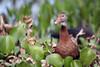 Black-bellied Whistling-Duck (Dendrocygna autumnalis) by Steve Raduns
