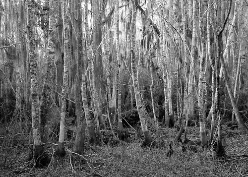 trees blackandwhite forest