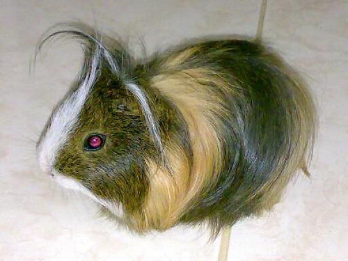 hamster p***