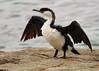 Black-faced Cormorant by Marcin Kreglicki