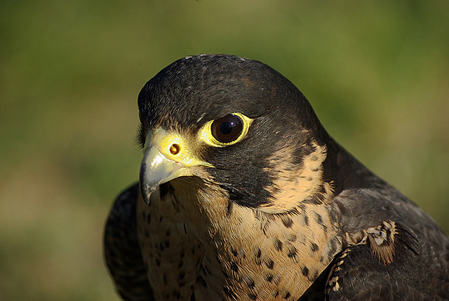 IMGP2379-Falco Pellegrino